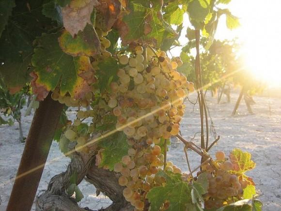 Imagen de un racimo de uva en un viñedo jerezano