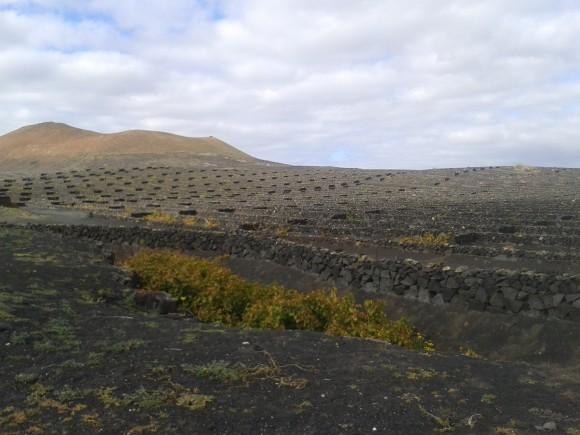 Vista del viñedo de la Bodega El Grifo con el Timanfaya de fondo