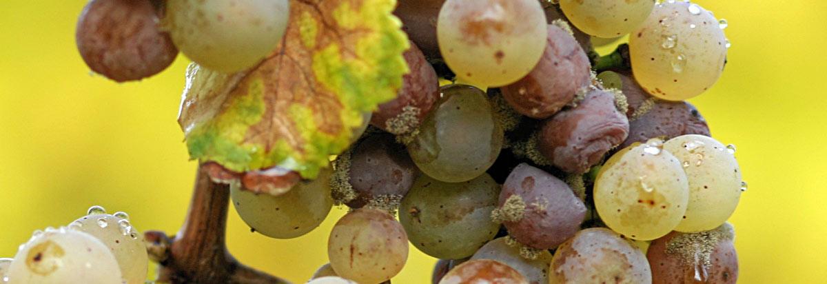 Botrytis cinerea sobre uvas Riesling