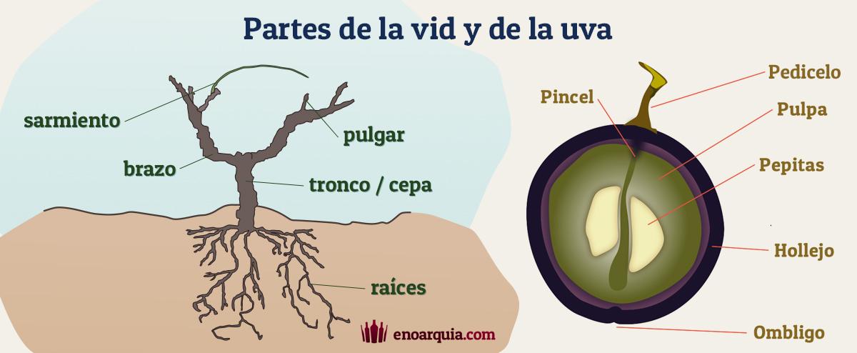 Partes de la vid y de la uva