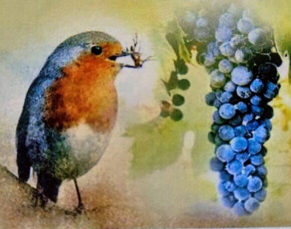 Dibujo de un petirrojo, con un insecto en el pico, junto a un racimo de uvas tintas.